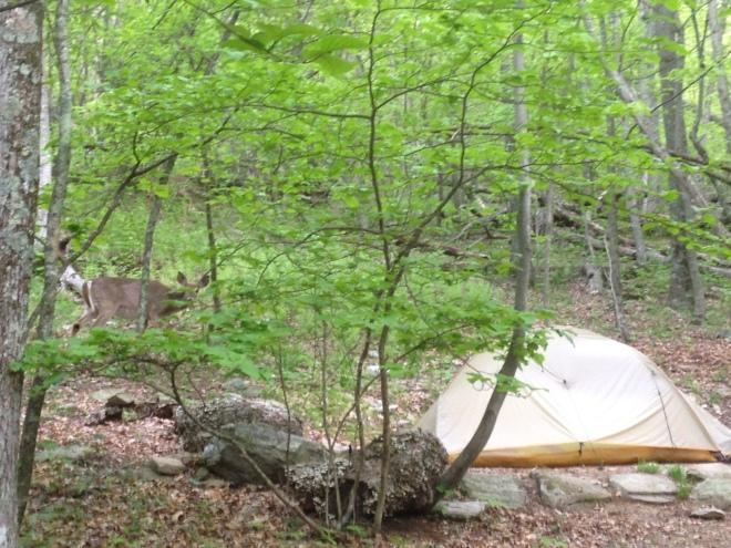 deer next to tent