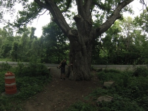 Largest oak tree on east coast