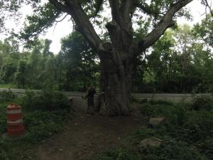 Largest oak tree on east coast